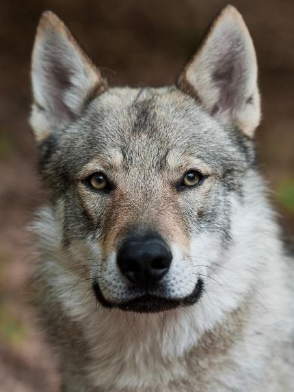 Source: http://www.petpaw.com.au/breeds/czechoslovakian-vlcak/